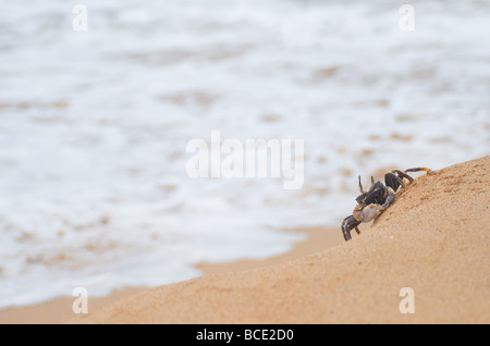 Crab on sandy beach - 'Curious Crab' - Stock Photo