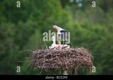 White stork on nest - Stock Photo