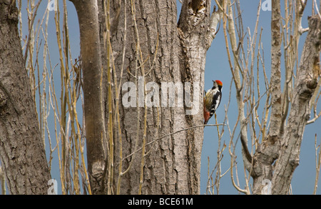 Middle Spotted Woodpecker Dendrocopos medius perched on tree Turkey April - Stock Photo