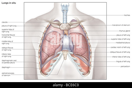 Human lung anatomy gallery human anatomy organs diagram anatomy of human lungs in situ stock photo 57643398 alamy ccuart Gallery