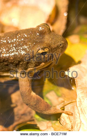 Closeup of a Foothill Yellow-legged frog, a threatened species. - Stock Photo