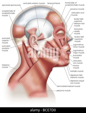 The muscles of the human head, used in facial expression. - Stock Photo