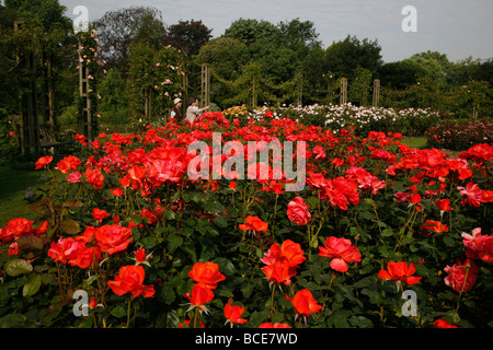 Rose Gardens within Queen Mary's Gardens, Regents Park, London, UK - Stock Photo