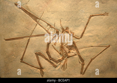 Pterodactylus antiquus Cast Solnhofen Limestone of Bavaria - Stock Photo