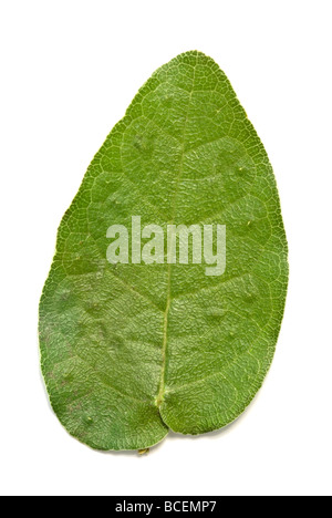 Studio image of the intricate veins on a leaf of a Morton Bay Fig tree - Stock Photo