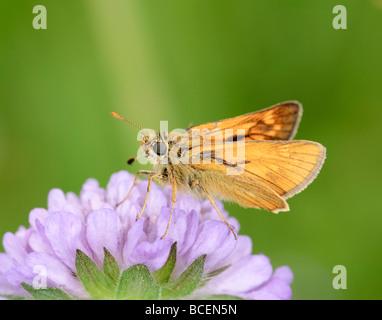 Butterfly Large Skipper Ochlodes venatus on a flower - Stock Photo