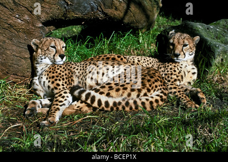 Two sleepy male Cheetahs, brothers, curled up together in the sun. - Stock Photo