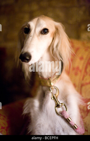 Saluki dog sat on chair - Stock Photo