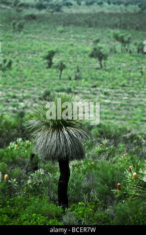 A Grass Tree rises from a stand of small Banksia shrubs on a plain. - Stock Photo