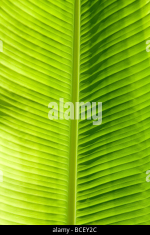 Green leaf texture showing all nerves Chloroplast with chlorophyll giving color to leaf and used for photosynthesis - Stock Photo