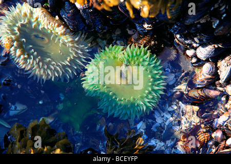 sea anemones - Stock Photo