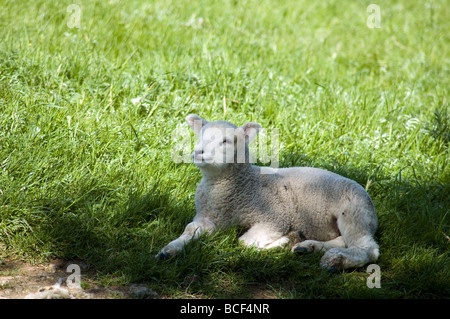 lamb laying in the shade. - Stock Photo