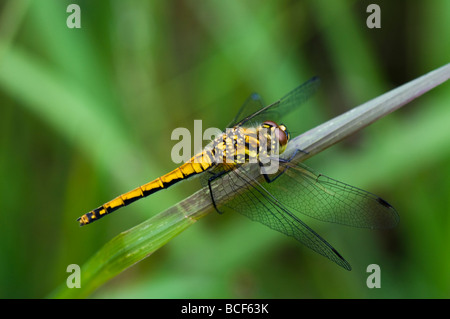 Female Black Darter dragonfly - Stock Photo
