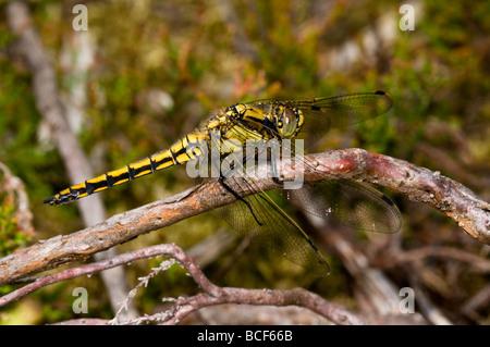 Keeled Skimmer dragonfly - Stock Photo