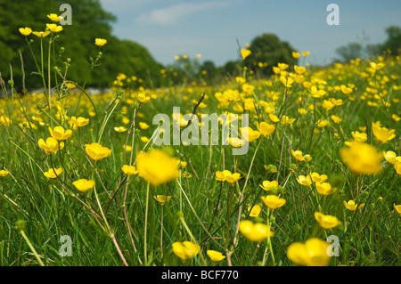 Close up of buttercups on Westwood Beverley East Yorkshire England UK United Kingdom GB Great Britain - Stock Photo