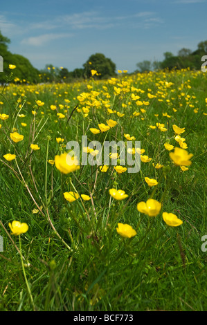 Close up of yellow buttercups in summer on Westwood Beverley East Yorkshire England UK United Kingdom GB Great Britain - Stock Photo