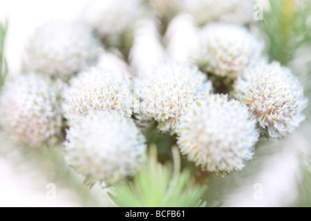 beautiful full frame image of Brunia flower heads fine art photography Jane Ann Butler Photography JABP426 - Stock Photo