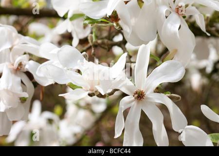 striking white magnolia tree fine art photography Jane Ann Butler Photography JABP430 - Stock Photo