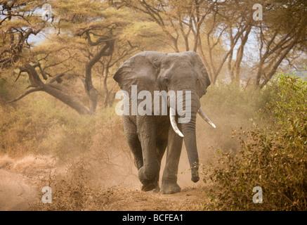 Loxodonta africana (Elephant), Lake Manyara National Park, Tanzania - Stock Photo
