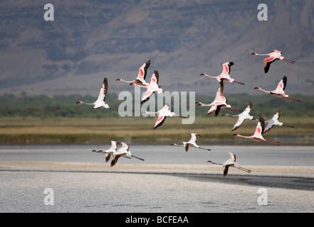 Lesser Flamingo (Phoenicopterus minor), Lake Natron, Tanzania - Stock Photo