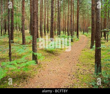 Pine forest Frensham Surrey England UK - Stock Photo