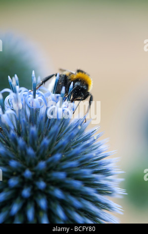 Bombus lucorum. White tailed Bumblebee feeding on Echinops ritro veitchs 'globe thistle'  flower - Stock Photo
