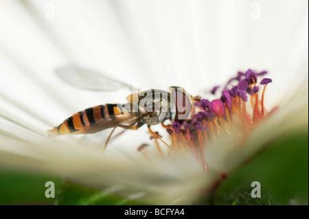 Hoverfly 'Syrphus torvus' feeding on Livinstone daisy flower - Stock Photo