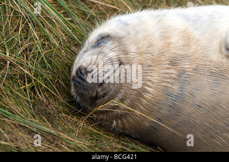 Atlantic Grey Seal Pup - (Halichoerus grypus, meaning 'hooked-nosed sea pig') - Stock Photo