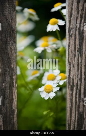 Anthemis nobilis. Roman camomile flower peeking through gate posts in an english garden