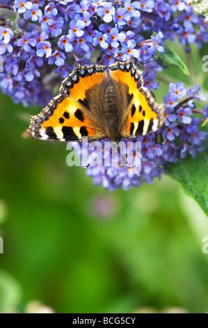Small tortoiseshell butterfly feeding on buddleja in an english garden - Stock Photo