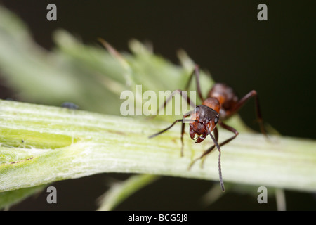 Horse ant (Formica rufa) on a plant stalk. The worker is looking up at the camera.