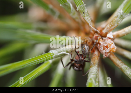 Horse ant (Formica rufa) on a pine twig. The worker is defending an aphid that can be seen below her.