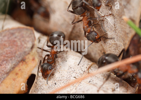 Three Horse ants (Formica rufa) foraging on dry leaves in the forest.