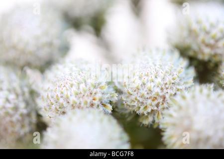 beautiful full frame image of Brunia flower heads fine art photography Jane Ann Butler Photography JABP425 - Stock Photo