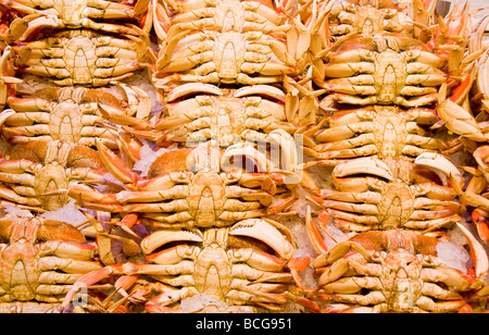 Rows of fresh dungeness crabs on ice in a seafood market - Stock Photo