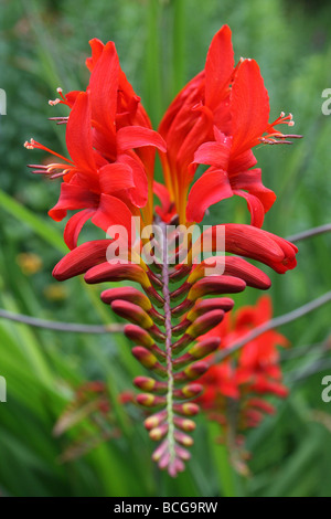 The Bright Red Flowers Of Crocosmia Taken In Calderstones Park, Liverpool, UK - Stock Photo