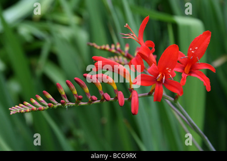The Bright Red Flowers Of Crocosmia Taken In Calderstones Park, Liverpool, UK - Stock Photo