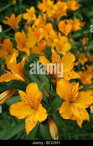 Peruvian Lily or Lily of the Incas Alstroemeria aurea Taken In Calderstones Park, Liverpool, UK - Stock Photo