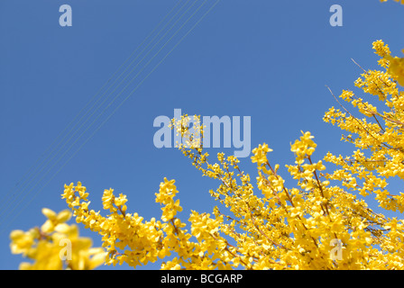 FORSYTHIA UNDER POWER LINES - Stock Photo