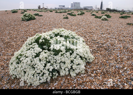 Sea Kale Crambe maritima growing on the shingle spit of Dungeness in Kent with the nuclear power station and old - Stock Photo