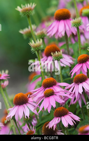 Echinacea purpurea 'Kims knee high'. Purple coneflower 'Kim's Knee High' - Stock Photo