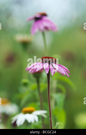 Echinacea purpurea 'magnus'. Coneflower 'Magnus' - Stock Photo