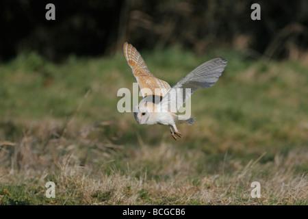 Barn Owl, Tyto alba, Britain's favourite owl, Norfolk UK. - Stock Photo