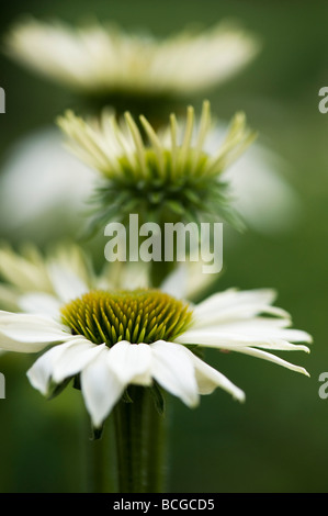 Echinacea purpurea 'White swan'. Coneflower - Stock Photo