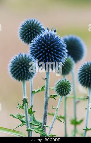 Echinops ritro veitch's blue. Globe thistle flower in an English garden - Stock Photo