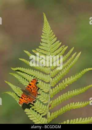 Comma Butterfly, Polygonia c-album, settled on fern - Stock Photo