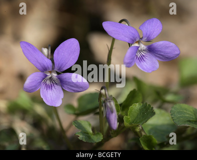 Common Dog Violet Viola riviniana - Stock Photo