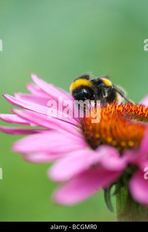 Bombus lucorum. Bumble bee feeding on an echinacea purpurea flower in an english garden - Stock Photo