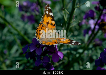 Painted lady butterfly Cynthia cardui West Sussex England UK - Stock Photo