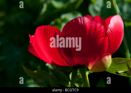 Red peony flower head East Sussex England UK - Stock Photo